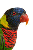 Close up of Ornate Lorikeet, Trichoglossus ornatus, a parrot in front of white background