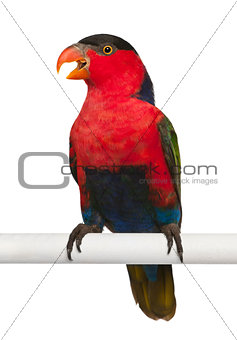 Black-capped Lory, Lorius lory, also known as Western Black-capped Lory or the Tricolored Lory, a parrot perching in front of white background