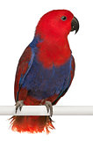 Female Eclectus Parrot, Eclectus roratus, perching in front of white background