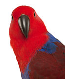 Portrait of Female Eclectus Parrot, Eclectus roratus, in front of white background
