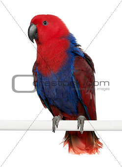 Portrait of Female Eclectus Parrot, Eclectus roratus, perching in front of white background