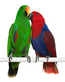 Male and Female Eclectus Parrots, Eclectus roratus, perching in