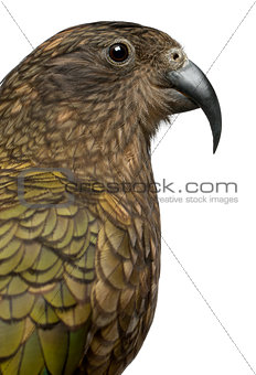 Portrait of Kea, Nestor notabilis, a parrot in front of white background
