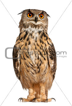 Portrait of Eurasian Eagle-Owl, Bubo bubo, a species of eagle owl, standing in front of white background