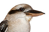Laughing Kookaburra, Dacelo novaeguineae, in front of white background