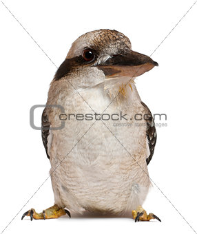 Portrait of Laughing Kookaburra, Dacelo novaeguineae, a carnivorous bird in the kingfisher family, standing in front of white background