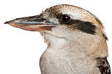 Portrait of Laughing Kookaburra, Dacelo novaeguineae, a carnivorous bird in the kingfisher family in front of white background