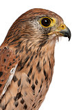 Close up of Common Kestrel, Falco tinnunculus, a bird of prey in front of white background