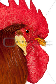 Close up of Rooster Leghorn, in front of white background