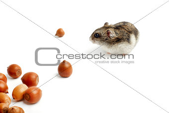 hamster sits surrounded by acorns