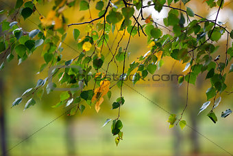 Branches with birch leaves in Autumn