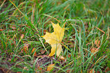 Yellow autumn leaf of maple on a green grass