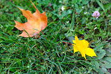Colored autumn leaves of maple on a green grass