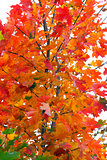 Maple with colored leaves in Autumn