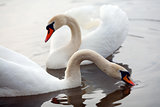 Two swans in a lake