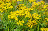 Jacobaea vulgaris, ragwort or benweed