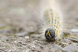 Hairy yellow caterpillar