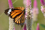 Common Tiger butterfly (Danaus genutia)