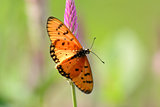 Tawny Coster butterfly (Acraea violae)