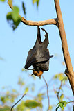 lyie's flyingfox