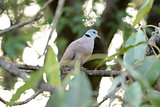 male Red Turtle-Dove (Streptopelia tranquebarica)