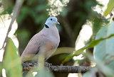 male Red Turtle-Dove (Streptopelia tranquebarica)