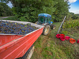 Tractor pulling harvested grapes