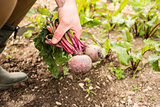 Man gathering some beetroot