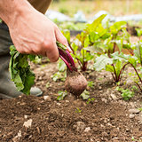 Man pulling fresh beetroot out of the ground