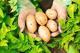 Hands presenting organic fresh potatoes