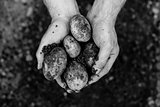 Hands showing freshly dug potatoes
