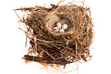 Detail of bird eggs in nest