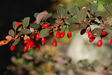 Ripe berries of barberry