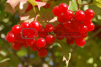 Branch of ripe red berries