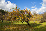 Apple orchard in autumn.