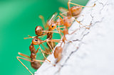 Red ants on the wall