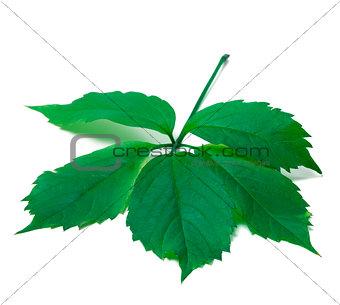 Green leave (Virginia creeper leaf)