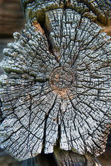 Old cross section of wooden log