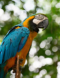 Big macaw parrot in nature