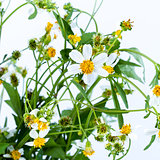 Chamomile flower with leaf