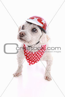 Dog wearing bike helmet and bandana