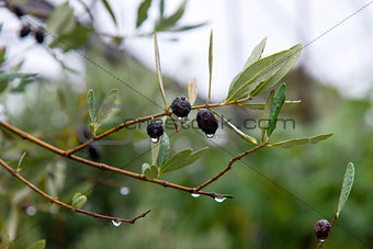 black olives still on the branch