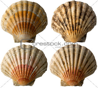 Four Scallop Shells - See Pectinidae - 1