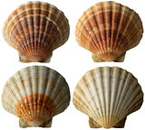 Four Scallop Shells - See Pectinidae - 2