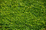 Green wall background of Boston ivy