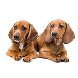 Isolated two Dachshund puppies / sitting