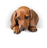 cute Dachshund Puppy with white banner for text