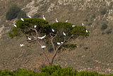 Tree Full Of Little Egrets