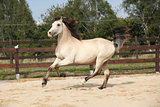 Beautiful palomino horse running