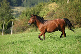 Beautiful brown horse running
